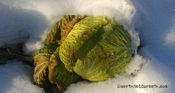 Soportan el invierno y mejoran sus propiedades gustativas