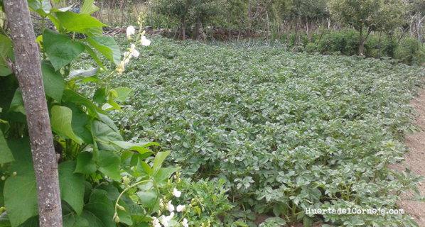 Rotación de cultivos: donde sembramos el año anterior judías este año ponemos patatas y al contrario