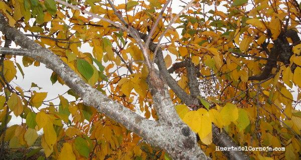 Injerto de cerezo (var. picotas) en la rama de un guindo.