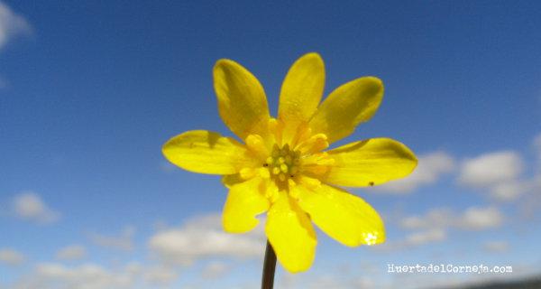 flor amallita