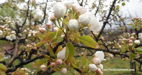 Perales autóctonos en flor