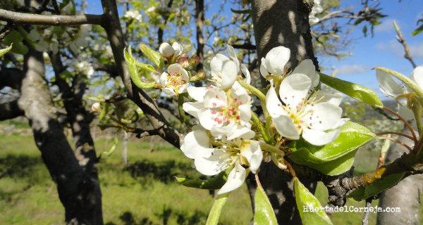 Flores en la variedad ercolina