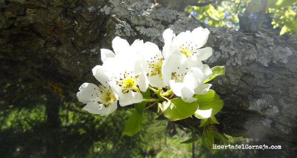 Flores del peral de Roma o de invierno