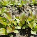 Como hacer un semillero y cultivar lechugas