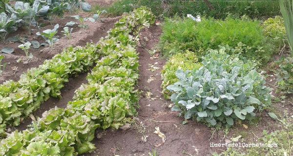Lechugas en distintas fases de crecimiento al lado del semillero.