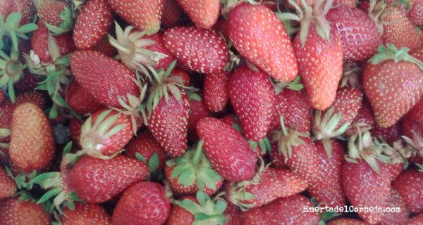 Dos variedades de fresas