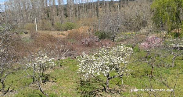 Perales de Aranjuez y de Roma en flor
