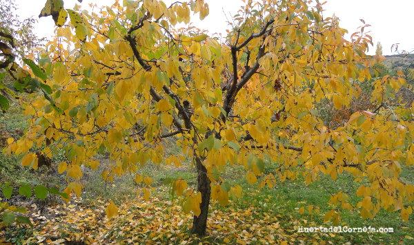 Guindo en otoño