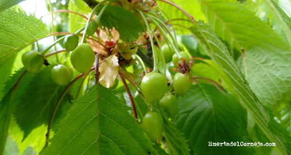 Pequeñas cerezas