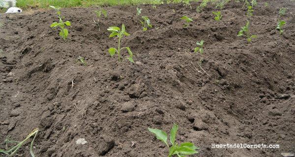 pimientos recién sembrados