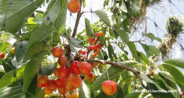 Cómo proteger los cerezos de los pájaros