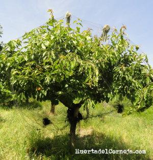 El cerezo pequeño protegido