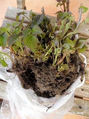 Nuevos vástagos de frambuesa para plantar