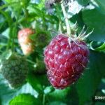 Cómo plantar y cultivar frambuesas