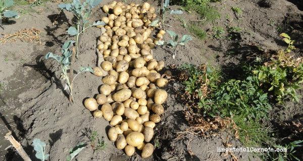 Patatas secándose al sol.