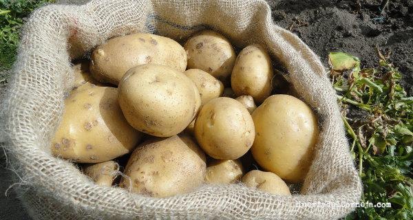 Cómo sembrar y cultivar patatas tempranas