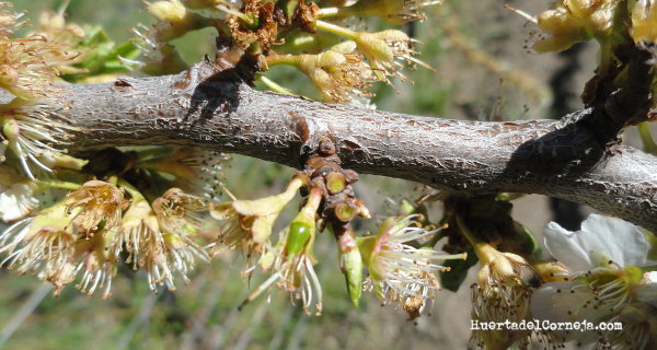 Flores de ciruelas claudias  y pequeños frutos