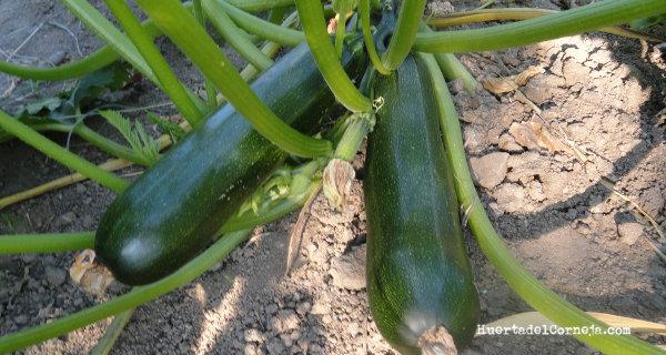 Cómo sembrar y cultivar calabacines.