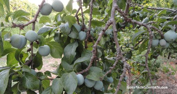 Ciruelas claudias creciendo en el árbol