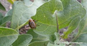 Escarabajo de la patata. Adulto