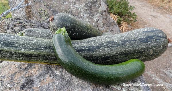 Calabacines, uno tierno y otros para pisto