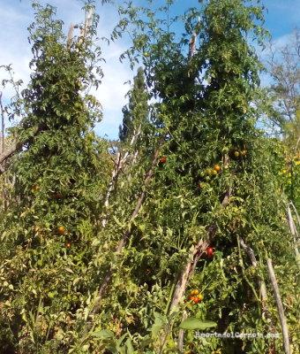Los tomates cherry llegan a alcanzar los 2m de altura.