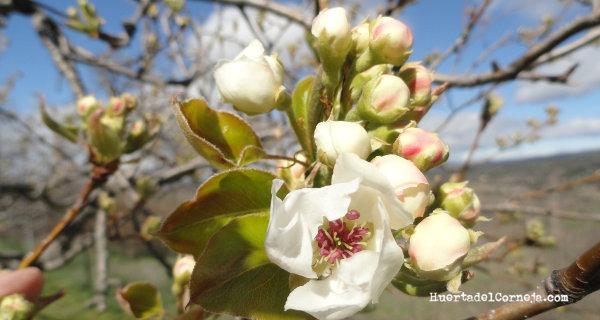 Flores y botones florales del peral de longuindo.