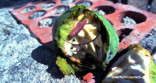 Nuez con larva de Cydia pomonella