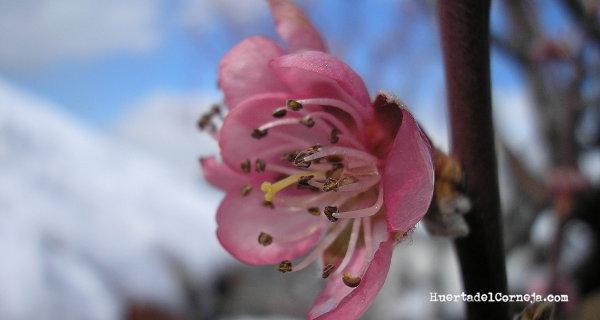 Flor de Briñon