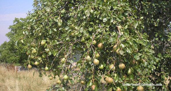 Peral y peras de donguindo