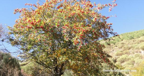 Serbal de cazadores (Sorbus aucuparia)