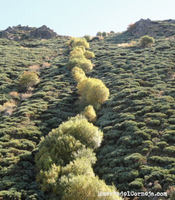Bardales o sauces negros y piornos serranos (Cytisus oromediterraneus)