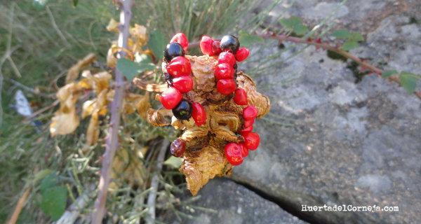 Semillas de peonía o matagallinas ( Paeonia broteri)