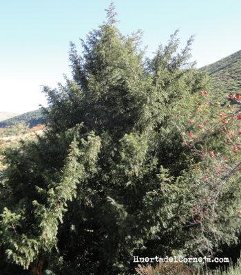 Tejo de montaña (Taxus baccata L.).