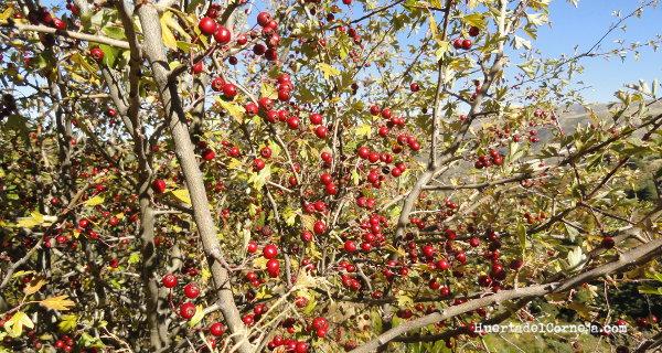 Espino albar (Crataegus monogyna) con sus frutos o majuelos.