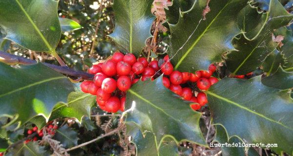 Frutos de acebo y helechos serranos (Pteridium aquilinum L.)