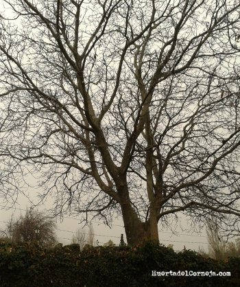 Viejo nogal con un tronco de más de dos metros.