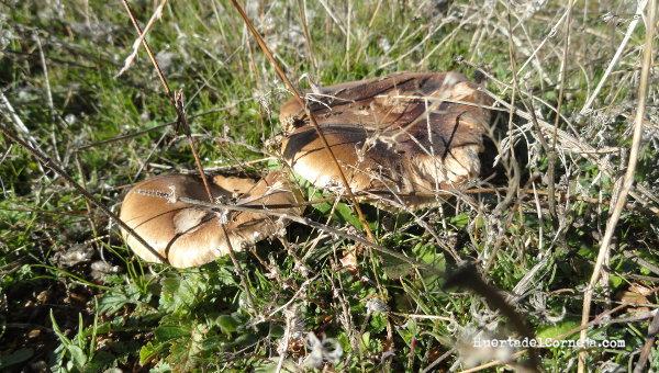 Setas de cardo mimetizadas con el terreno