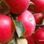 Reineta roja. La manzana de las estrellas