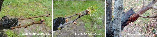 evolucion abril y mayo puas de cerezo injertadas en ciruelo