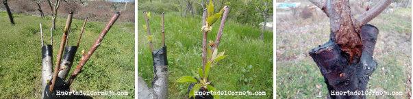 evolucion puas de cerezo injertadas en ciruelo