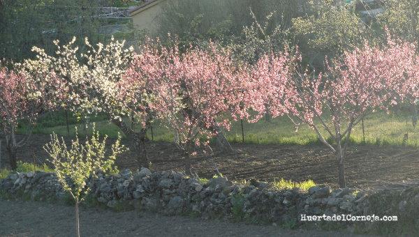 Floración de frutales de hueso
