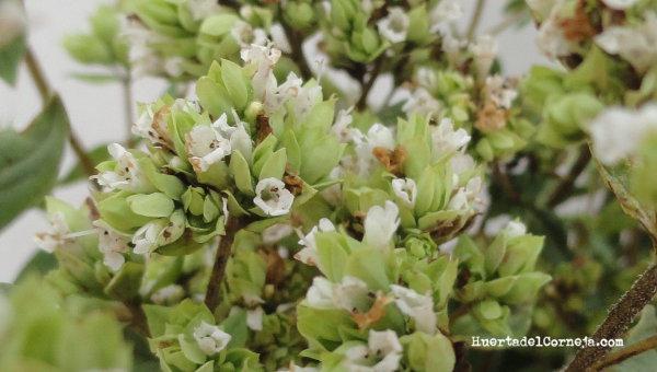 Detalle de flor de orégano