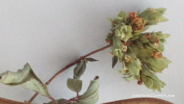 hojas brácteas y flor de orégano