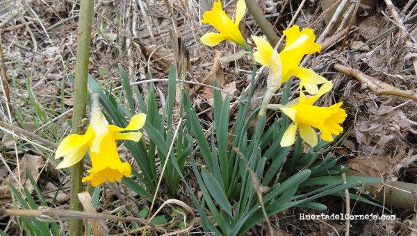 Narcissus pseudonarcissus al lado de la huerta.