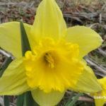 Narcisos. La primavera ha llegado a la huerta