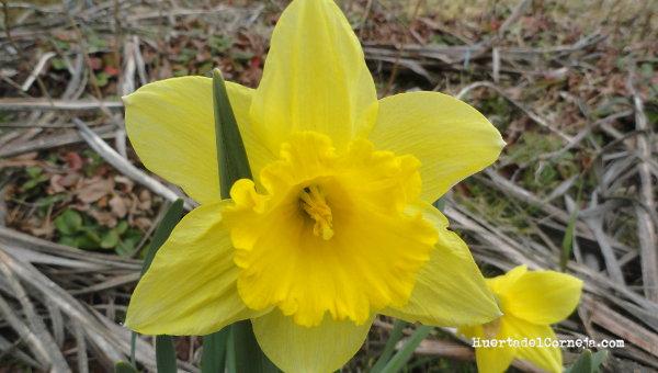 Narcisos cultivados