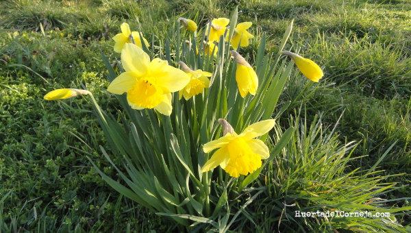 Narcisos cultivados.