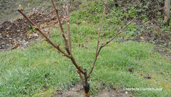 Poda de rboles frutales huerta del corneja - Poda del cerezo joven ...