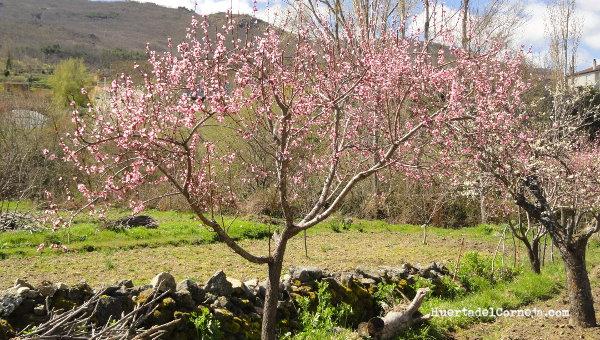 La poda del cerezo amazing abonado del cerezo de with la - Poda del cerezo joven ...